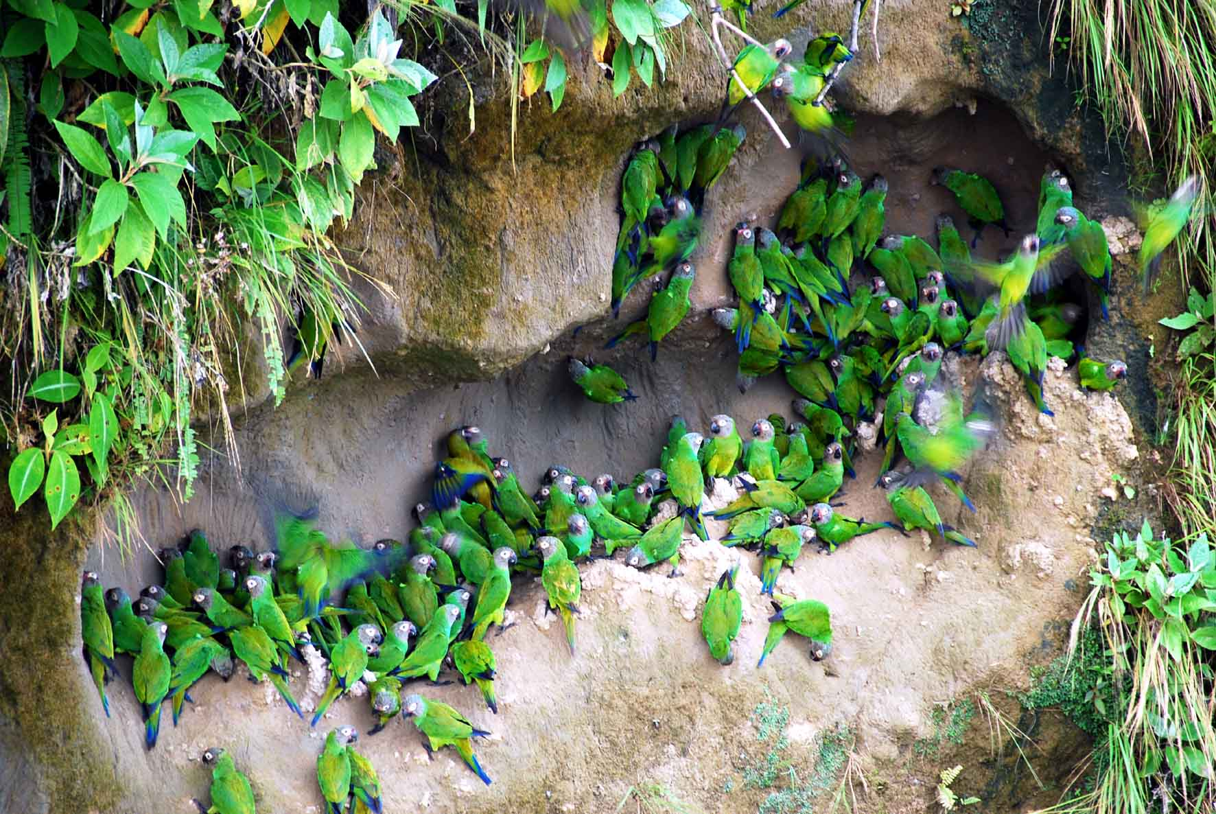 Amazon Jungle - Parrot Clay Lick