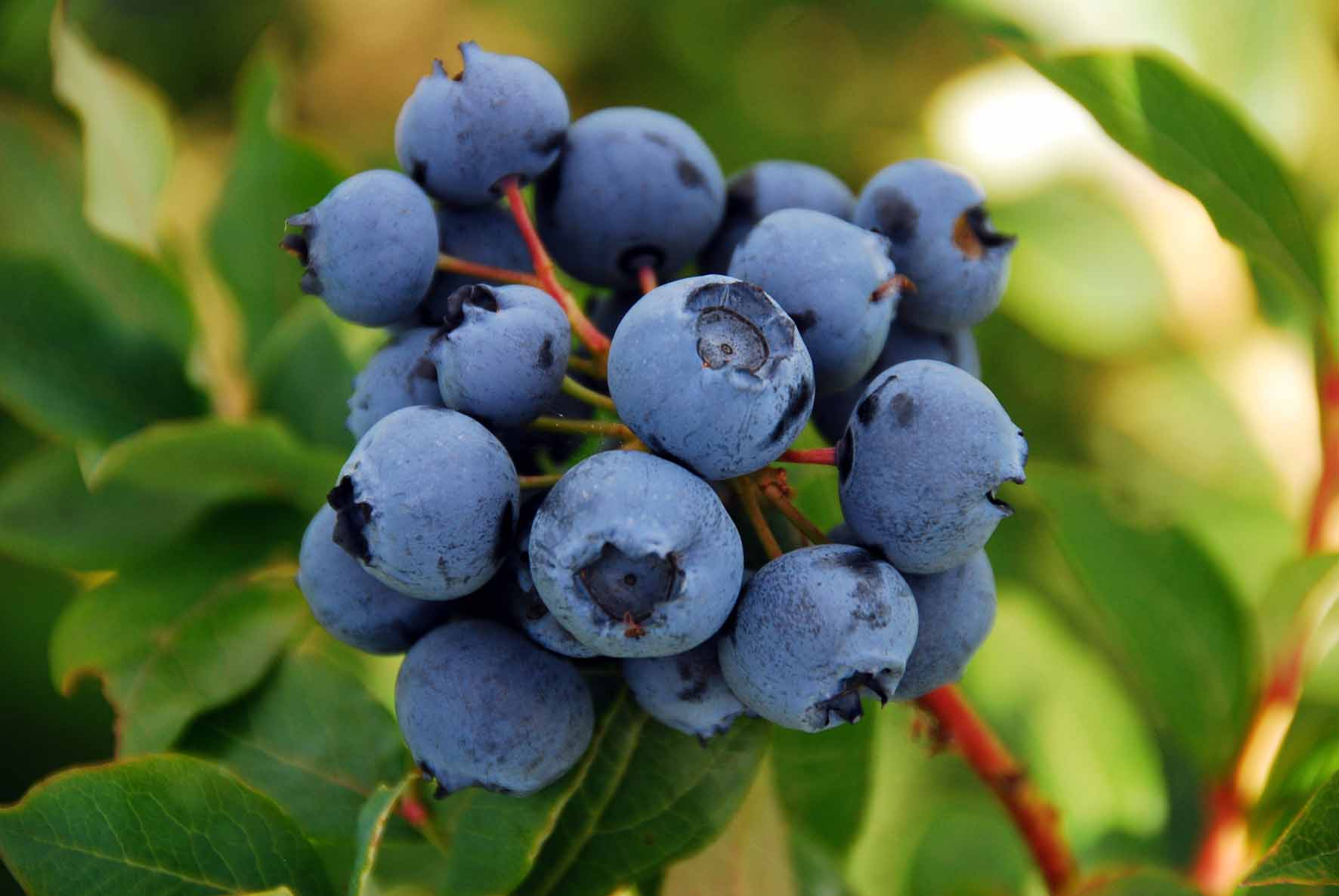 Dartmoor Blueberries