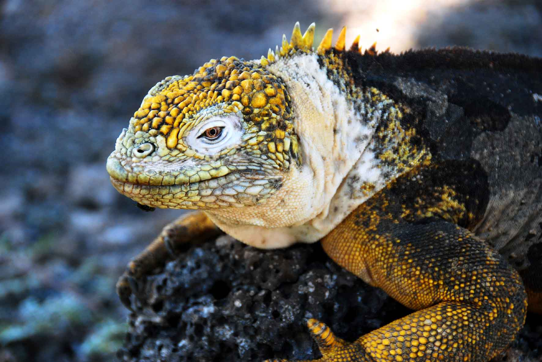 Isla North Seymour - Land Iguana (Galapagos Dragon)