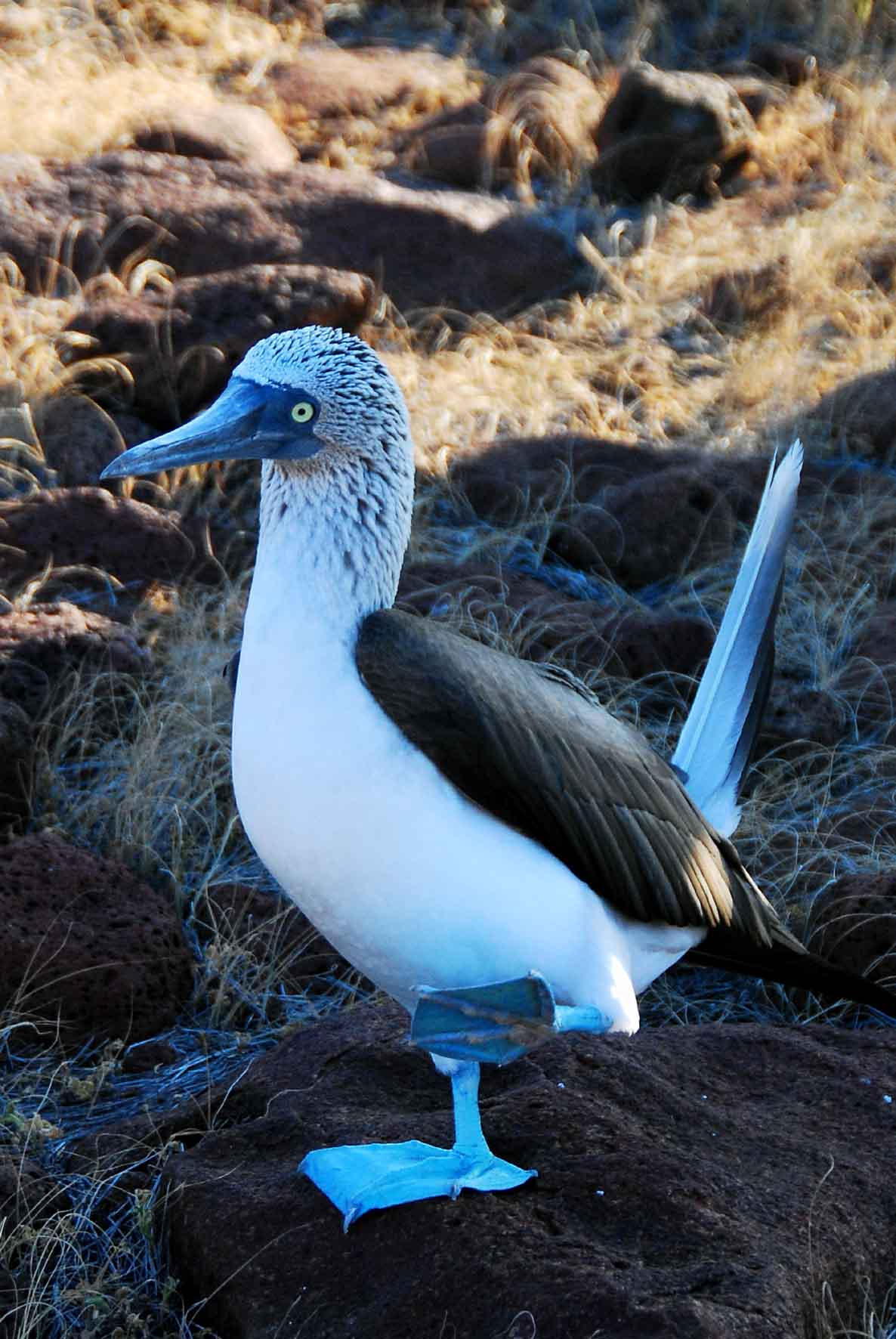 Isla South Plaza - Blue Footed Booby Dance