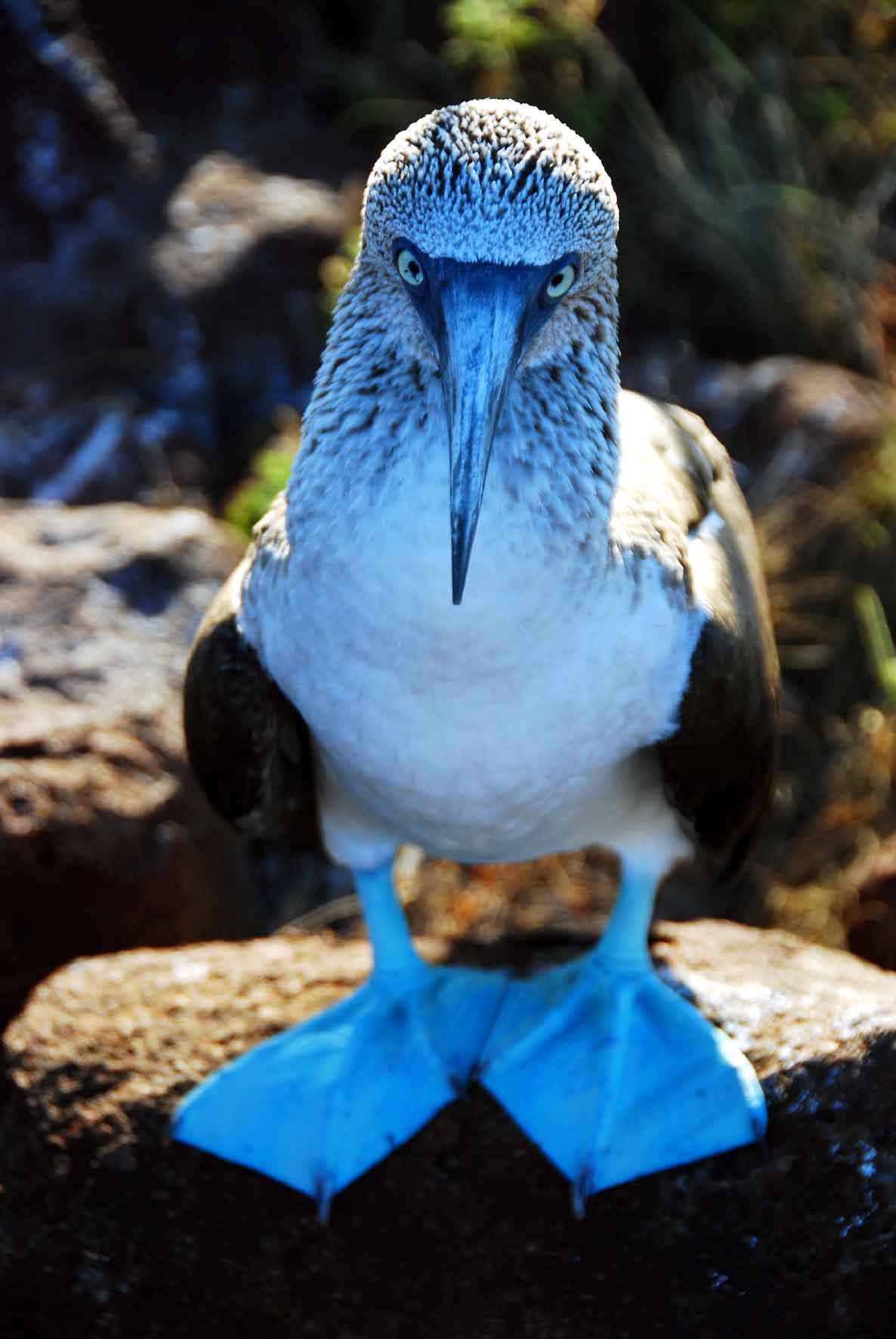 Isla South Plaza - Blue Footed Booby